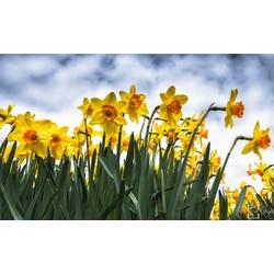 """Narcissus"" op Dibond 120cm"