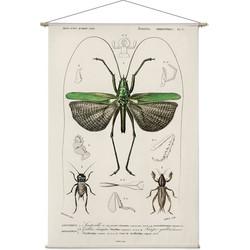 Locusta sexpunctata. Charles Dessalines D'Orbigny - 120 x 175 cm