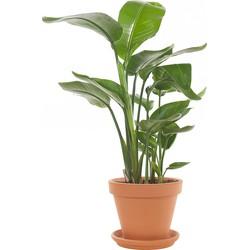 Paradijsvogelplant (Strelitzia 'Nicolai') incl. terracotta pot
