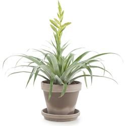Tillandsia oerstediana incl. taupe pot