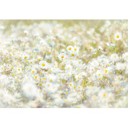 Komar, Fototapete, »Daisies«, 368/254 cm