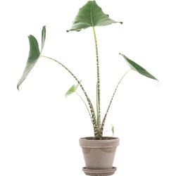 Alocasia zebrina incl. taupe pot