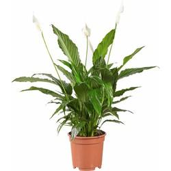 Spathiphyllum Vivaldi - Lepelplant - 70cm