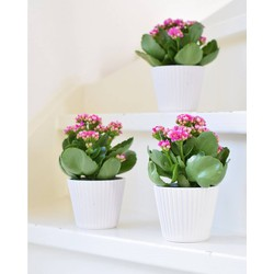 3x Kalanchoe Pink White in pot