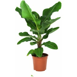 Musa Ingens - Bananenplant