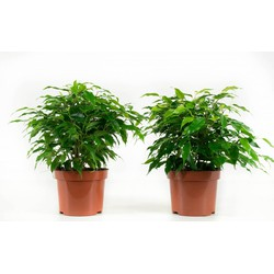 2x Ficus Gin Seng (diverse)