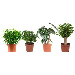 Ficus Green Kinky, -Natasja, Koffieplant en Olifantsoor