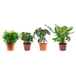 Ficus, Koffieplant, Olifantsoor en Dieffenbachia