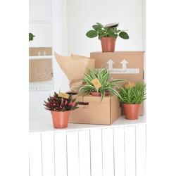 Combi pakket 4 trendy groene kamerplanten (o.a. Pannenkoekenplant)