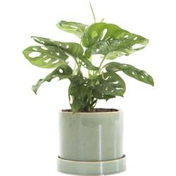 Gatenplant (Monstera Obliqua) incl. 'Deep Forest' pot