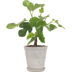 Vijgenboom (Ficus Carica) incl. Soft grey pot