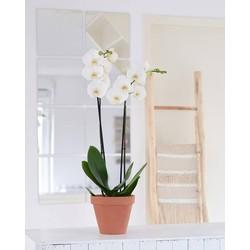 Orchidee White World