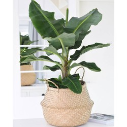 BLACK FRIDAY: BANANENPLANT (MUSA)  Ø27CM40CM