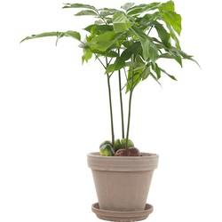 Australische kastanje (Castanospermum Australe) incl. taupe pot