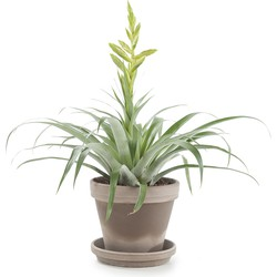 Tillandsia oerstediana incl. taupe pot