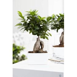 Ficus Gin Seng (2 stuks)