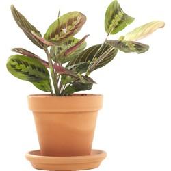 Prayerplant (Maranta 'fascinator') incl. terracotta pot