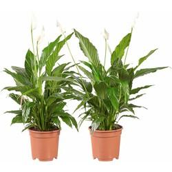 Spathiphyllum Vivaldi - Lepelplant - 2 stuks