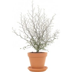 Corokia 'Maori Green' incl. terracotta pot