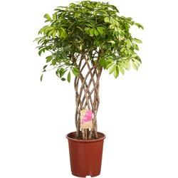 Vingersboom (Schefflera)