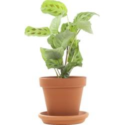 Maranta 'kerchoveana' incl. terracotta pot