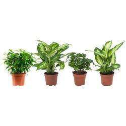 Ficus Green Kinky, Arabica en 2 Dieffenbachia's