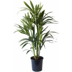 Howea Kentia Palm - 90-110-125 cm