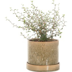 Sophora 'Little Baby' incl. 'Green moss' pot