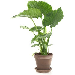 Green Lifestyle Store Kamerplant Alocasia Gageana - 85 tot 100 cm
