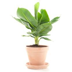 Bananenplant (Musa) incl. terracotta pot