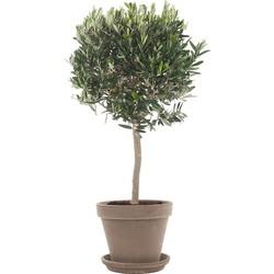 Olijfboom (Olea europaea) incl. taupe pot