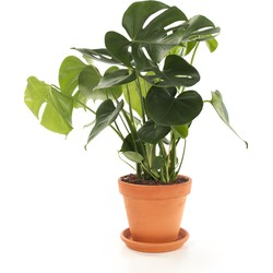 Gatenplant (Monstera) incl. terracotta pot