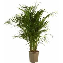 Dypsis Lutescens - Areca Goudspalm - 130cm