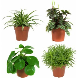 Peperomia, Graslelie, Pannenkoekplant en Kruiskruid