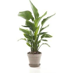 Paradijsvogelplant (Strelitzia 'Nicolai') incl. taupe pot
