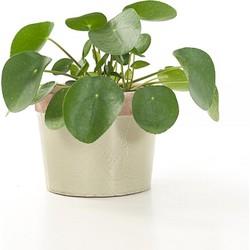 Green Lifestyle Store -Limited Stock!- -Pannenkoekenplant (Pilea peperomioides)