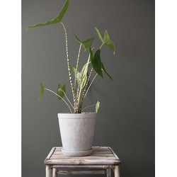 Alocasia zebrina incl. 'Soft grey' pot