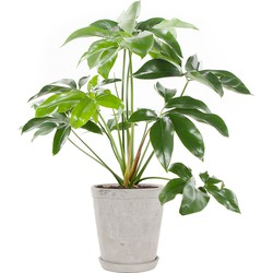 Philodendron Green wonder incl. 'Soft grey' pot