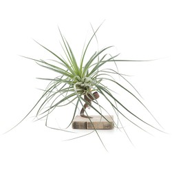 Tillandsia airplant - roest