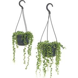 Erwtenplant (Senecio rowleyanus) - set van 2