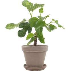 Vijgenboom (Ficus Carica) incl. taupe pot