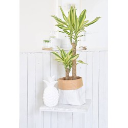 Dracaena Yellow Coast Medium
