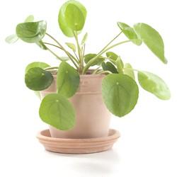 Pannenkoekenplant (Pilea peperomioides) incl. terracotta pot