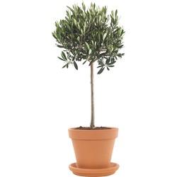 Olijfboom (Olea europaea) incl. terracotta pot