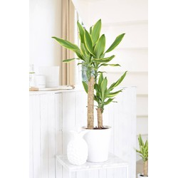 Dracaena Golden Coast Medium
