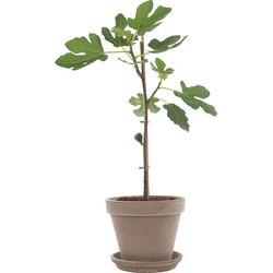 Vijgenboom op stam (Ficus Carica) incl. taupe pot