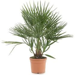 Green lifestyle store Tuinplant Chamaerops humilis