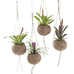 Kokodama mix (Bromelia) - set van 4