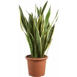 Sansevieria Laurentii - Vrouwentong - 85cm