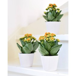 3x Kalanchoe Sign in pot